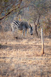 A Zebra is seen among trees at the Kruger National Park Stock Photos
