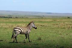 Zebra selvagem Foto de Stock