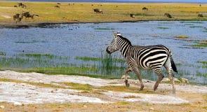 Zebra selvagem africana fotos de stock royalty free