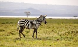 Zebra selvagem no safari de Masa-mara em Kenya Foto de Stock Royalty Free
