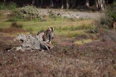 Zebra selvaggia Immagine Stock