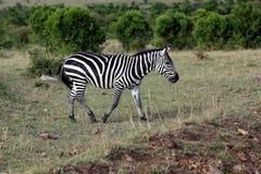 Zebra selvaggia Fotografia Stock