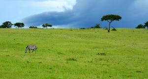 Zebra selvaggia Immagini Stock