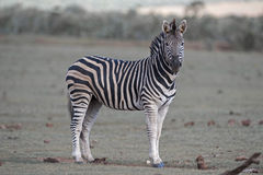 Zebra Sentinal Stock Image