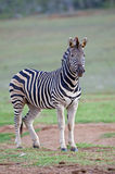 Zebra Sentry Stock Photo