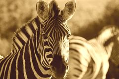 Zebra Sepia Royalty Free Stock Images