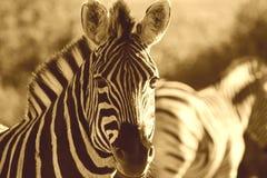 Zebra Sepia Royalty Free Stock Images