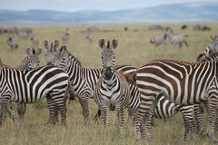 Zebra in serengeti Stock Afbeelding