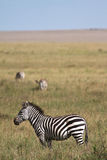 Zebra in Serengeti Stock Photo