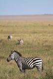 Zebra in Serengeti Stockfoto