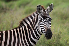 Zebra Serengeti ascendente próximo Tanzânia imagem de stock