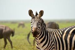 Zebra in the Serengeti Royalty Free Stock Photo