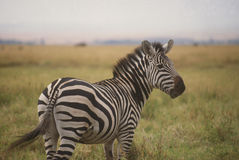 Zebra, Serengeti National Park Stock Photos