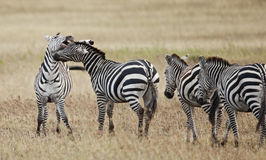 Zebra in Serengeti National Park, Tanzania Stock Photo