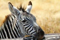 Zebra. At Serengeti National Park, Tanzania Stock Images