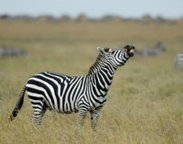 Zebra in Serengeti National Park, Tanzania, Africa Royalty Free Stock Images