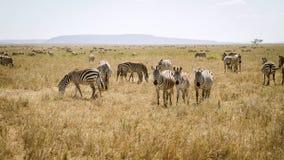 Zebra in the Serengeti Stock Images