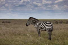 Zebra in the Serengeti National Park Stock Images