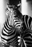Zebra, Serengeti National Park  Royalty Free Stock Image