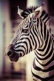Zebra, Serengeti National Park Royalty Free Stock Photo