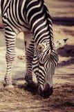 Zebra, Serengeti National Park, Tanzania, East Africa Royalty Free Stock Images