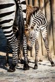 Zebra, Serengeti National Park, Tanzania, East Africa Stock Photography