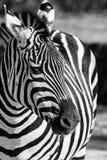 Zebra, Serengeti National Park, Tanzania, East Africa Royalty Free Stock Photo
