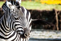 Zebra in Serengeti National Park Stock Photos