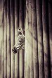 Zebra in Serengeti National Park Royalty Free Stock Photos