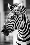 Zebra, Serengeti National Park, Tanzania, East Africa Royalty Free Stock Photography