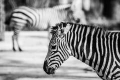 Zebra, Serengeti park narodowy, Tanzania, Afryka Wschodnia Obrazy Royalty Free