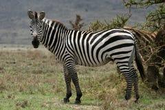Zebra - Serengeti Safari, Tanzania, Africa Royalty Free Stock Images