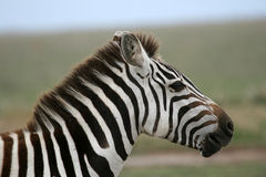 Zebra - Serengeti Safari, Tanzania, Africa Stock Photography