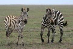 Zebra - Serengeti Safari, Tanzania, Africa Royalty Free Stock Photo