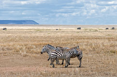 Zebra, Serengeti Stock Photos