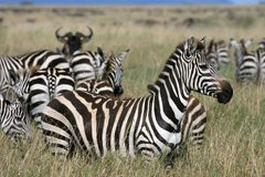 Zebra Serengeti Tanzânia foto de stock
