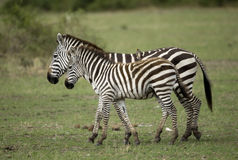 Zebra in Serengeti, Tanzania Royalty Free Stock Photo