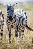 Zebra in Serengeti Tanzania Stock Photography