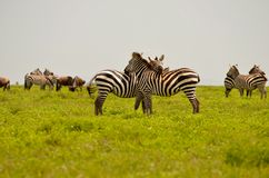 Zebra in the Serengeti Stock Photography