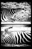 Zebra set Royalty Free Stock Photography