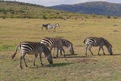 Zebra. Several zebras grazing at Africa plains Royalty Free Stock Photo