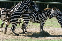 Zebra sex Royalty Free Stock Image
