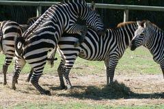 Zebra sex. Zebra preparing to have sex Royalty Free Stock Image