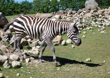 Zebra in a shaded oasis Royalty Free Stock Image