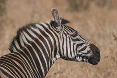 Zebra shake Stock Images