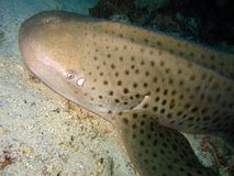 Zebra Shark. Resting, Maratua, Indonesia Royalty Free Stock Photo