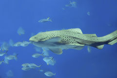 Zebra shark Royalty Free Stock Image