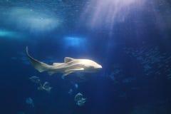 Zebra shark. Floating in water Stock Photo