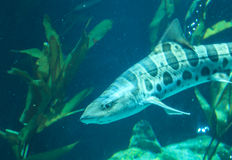 Zebra shark, Stegostoma fasciatum Stock Photos