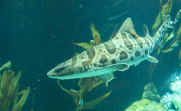 Zebra shark, Stegostoma fasciatum Royalty Free Stock Photos